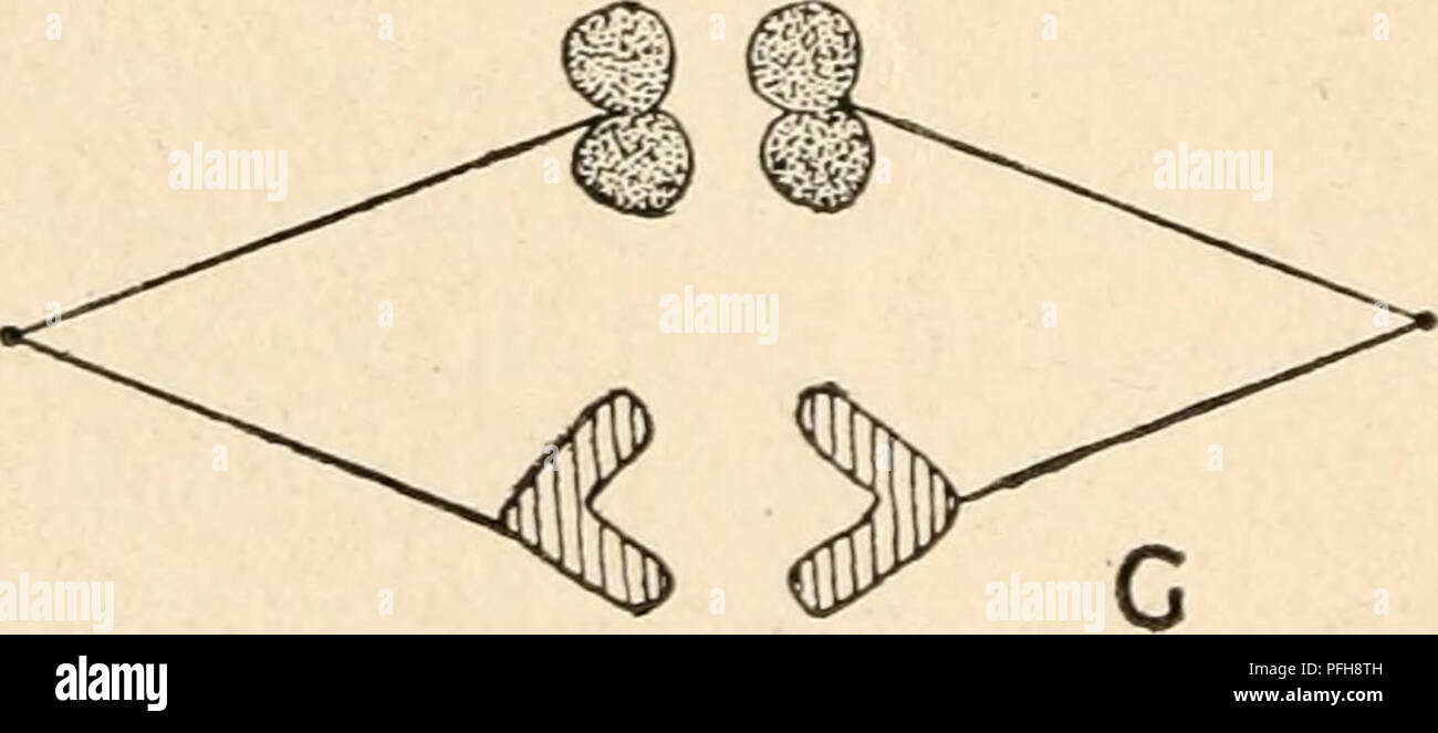 hight resolution of diagram of the principal stages of meiosis by parasyndesis two pairs of homologous chromosomes are shown the members of one