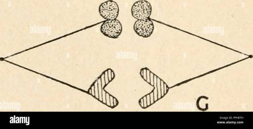 small resolution of diagram of the principal stages of meiosis by parasyndesis two pairs of homologous chromosomes are shown the members of one