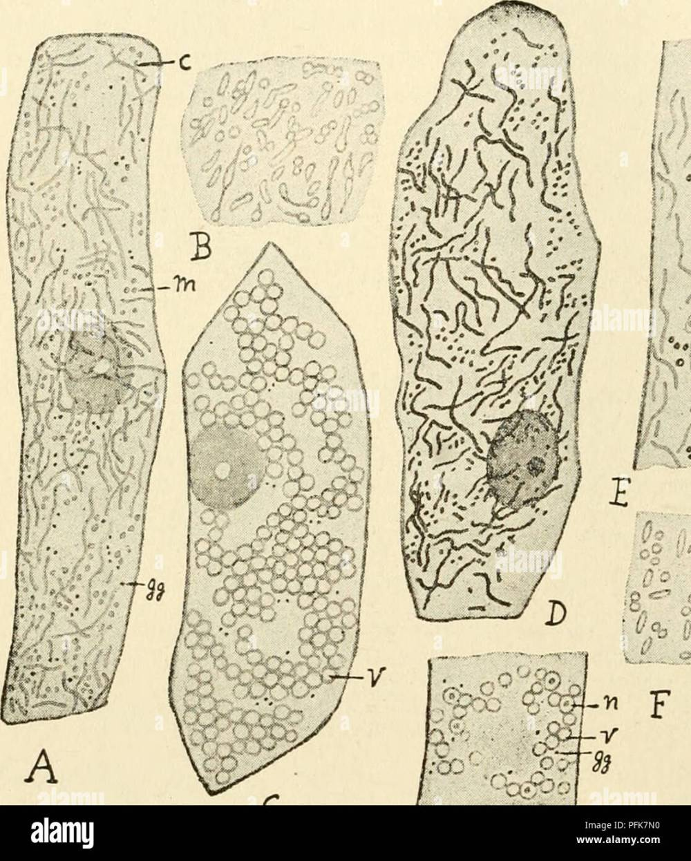 medium resolution of  the cytoplasm of the plant cell plant cells and tissues protoplasm guilliermond atkinson 98 cytoplasm figure 60 gives a very exact idea of these