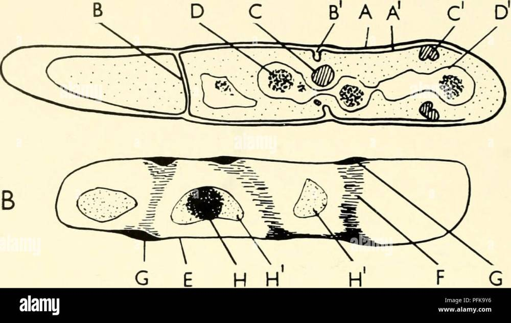 medium resolution of the cytology and life history of bacteria sections of bacteria diagrams drawn from electron micrographs of bacillus cereus are compared diagram a is taken