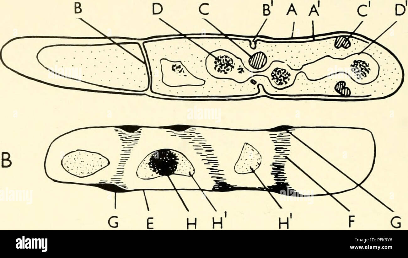 hight resolution of the cytology and life history of bacteria sections of bacteria diagrams drawn from electron micrographs of bacillus cereus are compared diagram a is taken