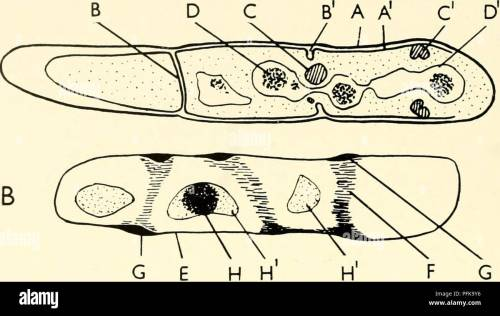small resolution of the cytology and life history of bacteria sections of bacteria diagrams drawn from electron micrographs of bacillus cereus are compared diagram a is taken