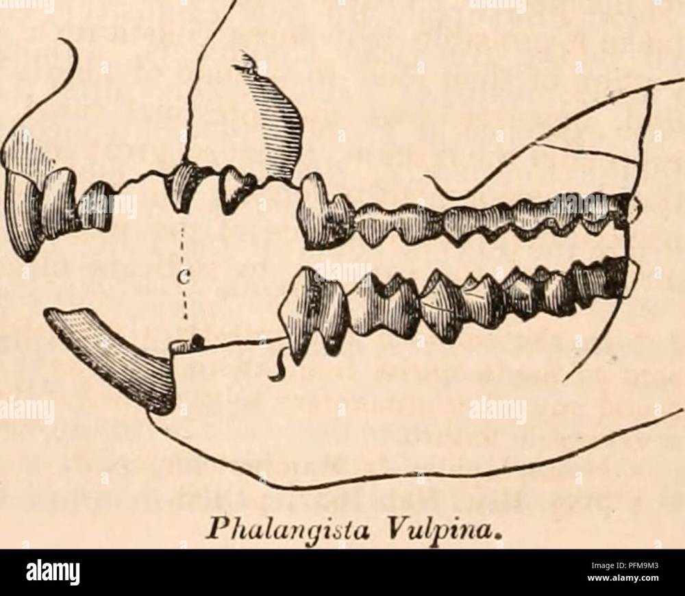 medium resolution of anatomy physiology zoology phalaiirjista cookii in the skull of a phalangixta cookii of which the dental formula is accurately given in jig