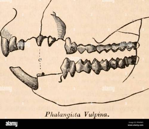 small resolution of anatomy physiology zoology phalaiirjista cookii in the skull of a phalangixta cookii of which the dental formula is accurately given in jig