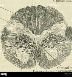 diagram sides of the medulla oblongata 3 external arcuate fibres coming from the arcuate nuclei and 4 olivo cerebellar fibres  [ 1300 x 1299 Pixel ]