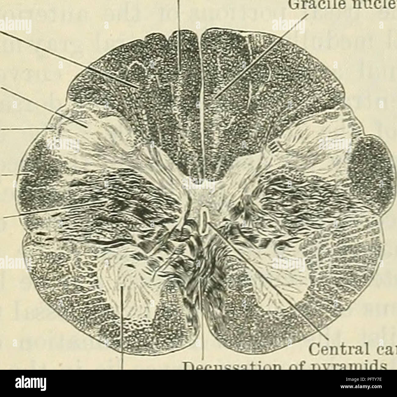 hight resolution of diagram sides of the medulla oblongata 3 external arcuate fibres coming from the arcuate nuclei and 4 olivo cerebellar fibres