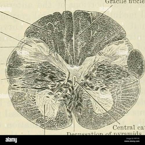 small resolution of diagram sides of the medulla oblongata 3 external arcuate fibres coming from the arcuate nuclei and 4 olivo cerebellar fibres