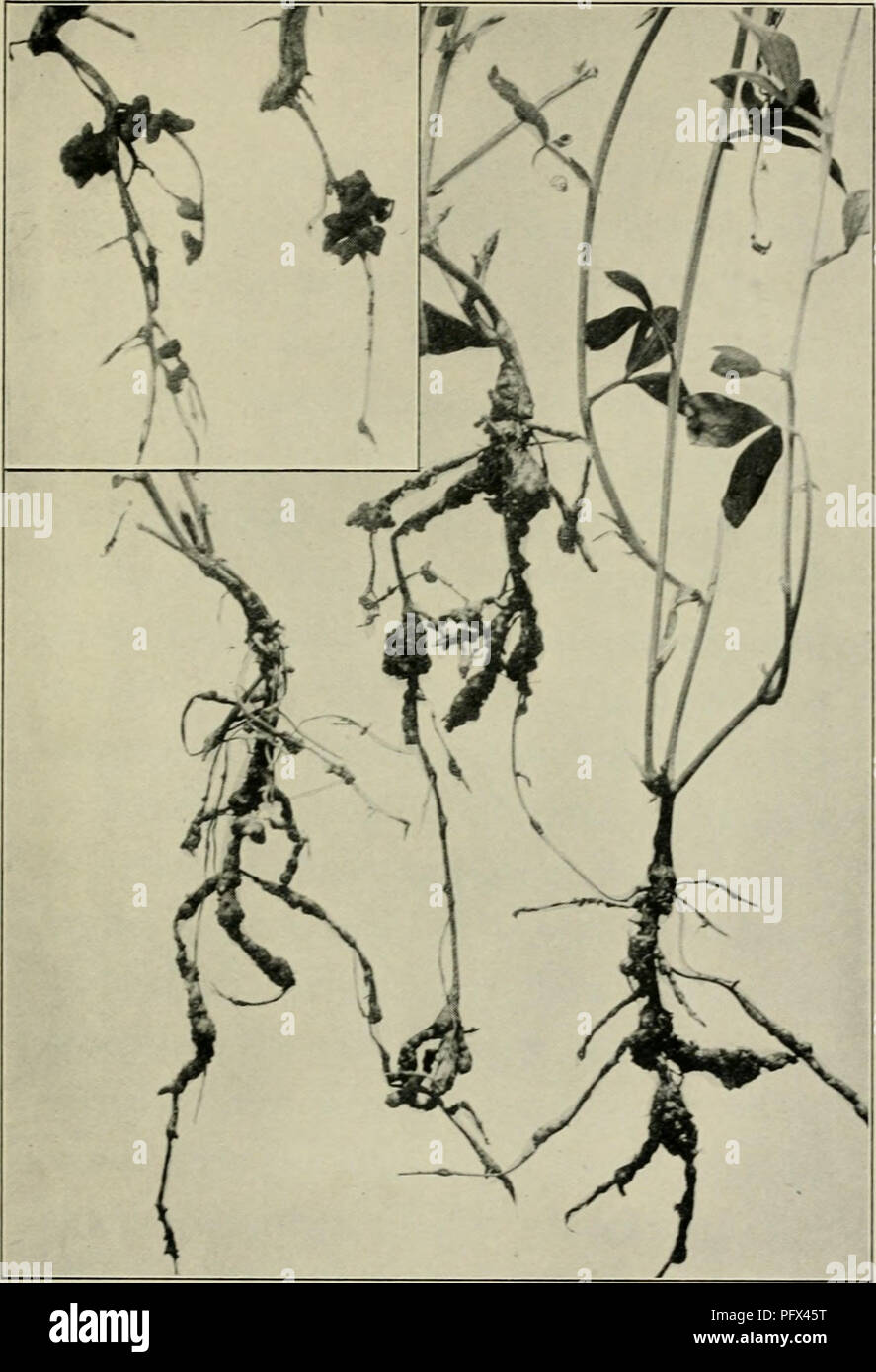 medium resolution of  the culture and diseases of the sweet pea figs i8 19 root knot of sweet peas a root trouble which may be mistaken for the true legume root nodules