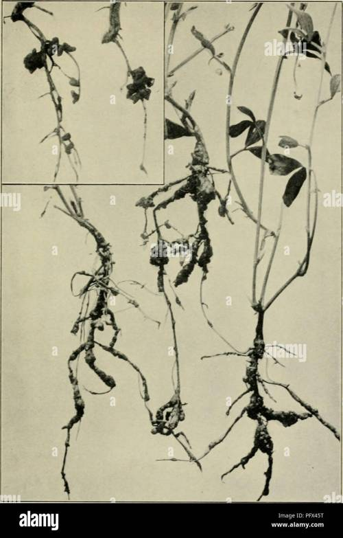 small resolution of  the culture and diseases of the sweet pea figs i8 19 root knot of sweet peas a root trouble which may be mistaken for the true legume root nodules