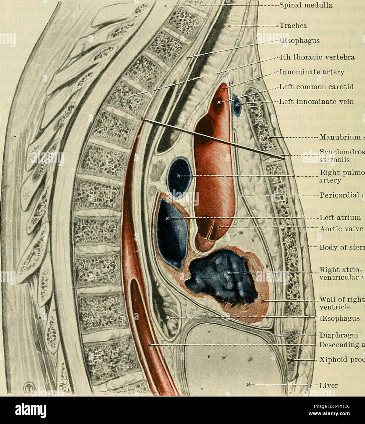 hight resolution of cunningham s text book of anatomy anatomy 1090 the kespiratoky system great