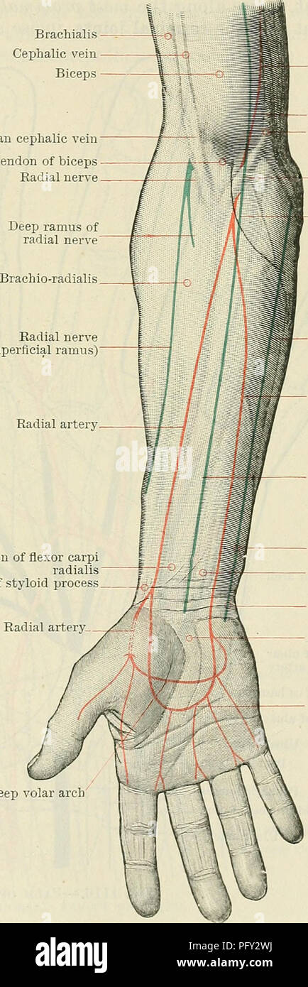 radial nerve diagram 7 pin flat socket wiring stock photos images alamy cunningham s text book of anatomy the fokeakm and hand 1451
