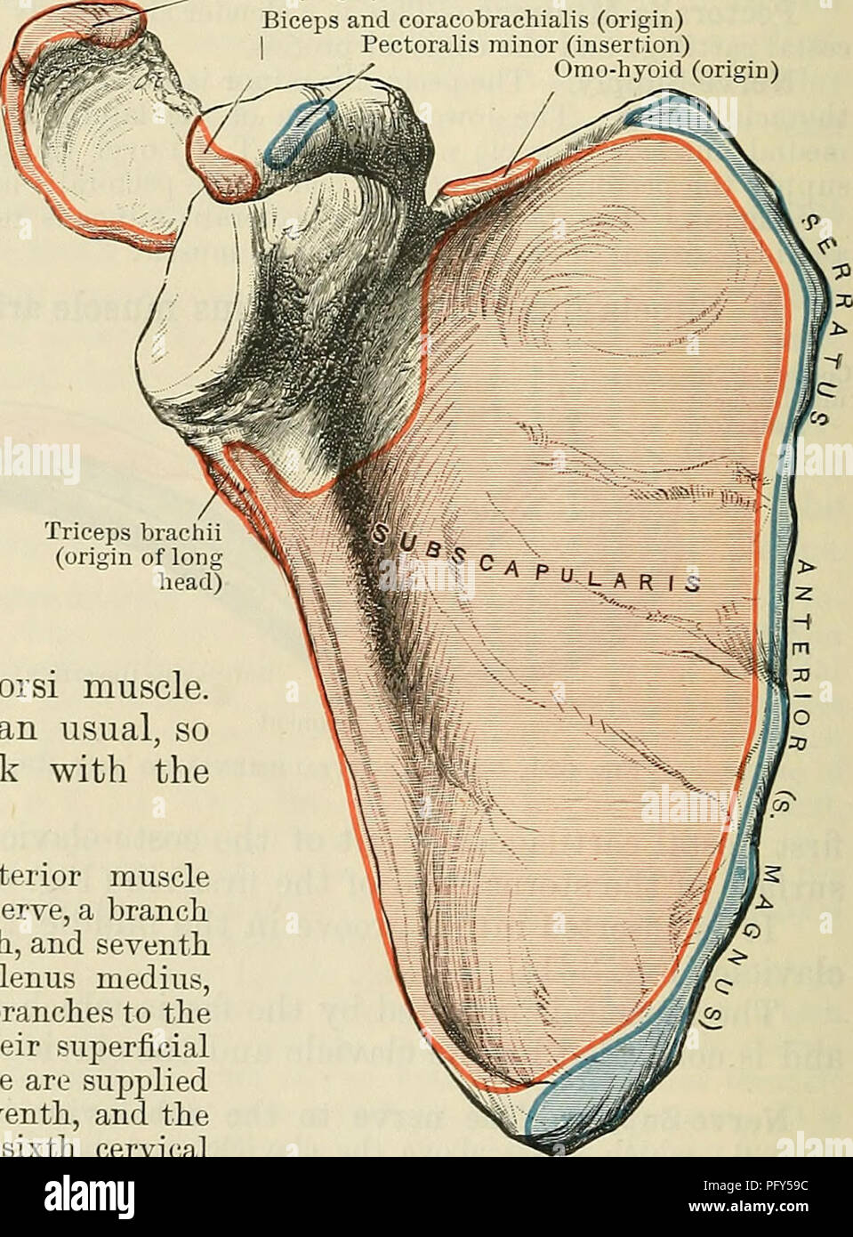 medium resolution of the sternoclavicularis is a small separate slip rarely present extending beneath the pector alis major from the upper part of the sternum