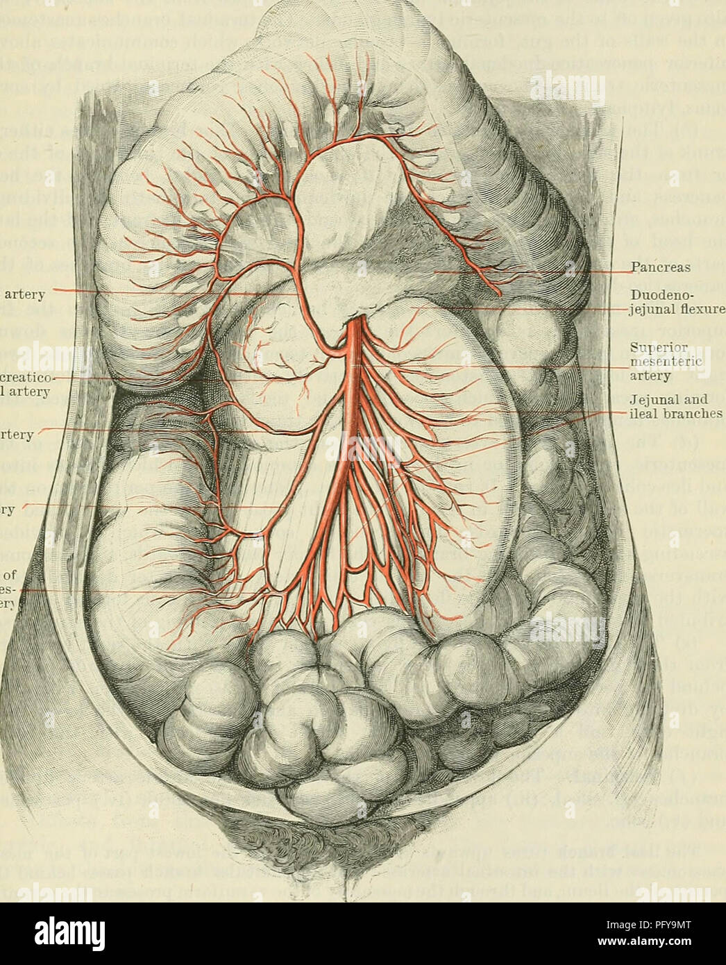 hight resolution of cunningham s text book of anatomy anatomy visceeal beanches of the abdominal aoeta