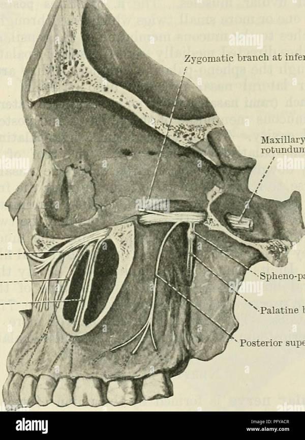 20 Maxillary Nerve Inferior Orbital Nerve Pictures And Ideas On