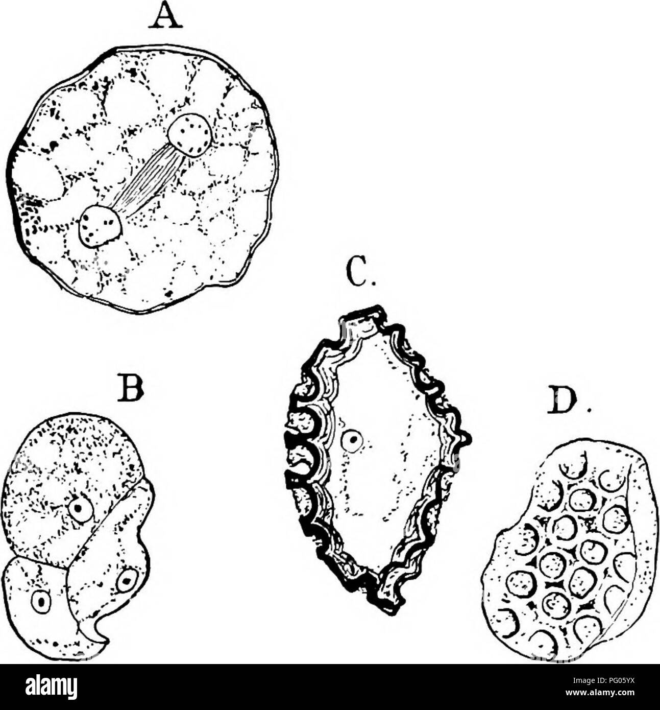 hight resolution of  the structure and development of mosses and ferns archegoniatae plant morphology mosses ferns muscinem hepatic marchantiales 35 fig