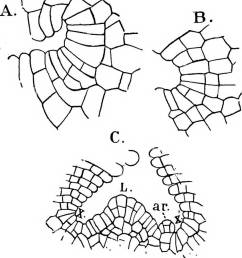 the structure and development of mosses and ferns archegoniatae plant morphology mosses ferns 26 mosses and ferns chap in riccia glauca as well as  [ 1128 x 1390 Pixel ]