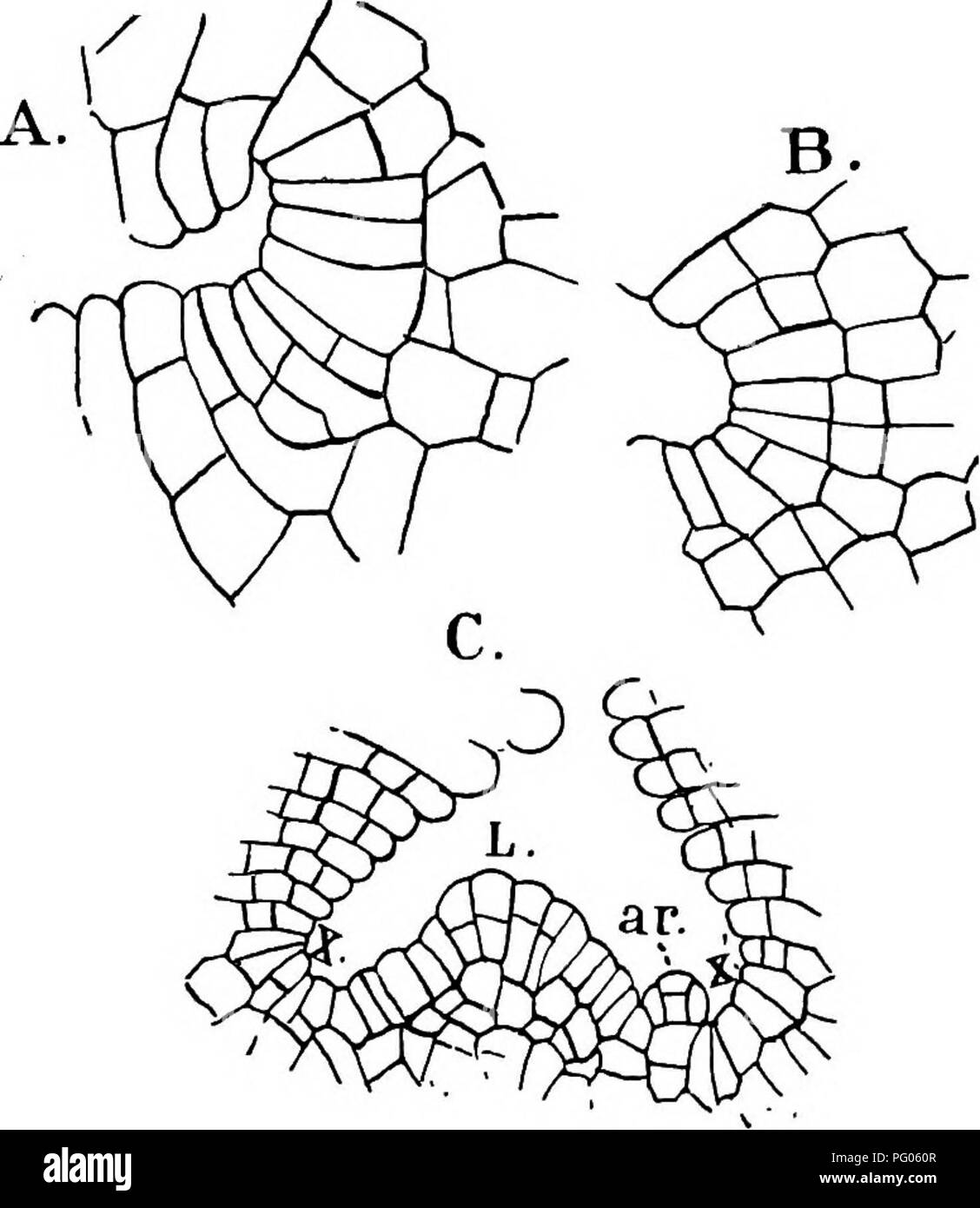 hight resolution of  the structure and development of mosses and ferns archegoniatae plant morphology mosses ferns 26 mosses and ferns chap in riccia glauca as well as