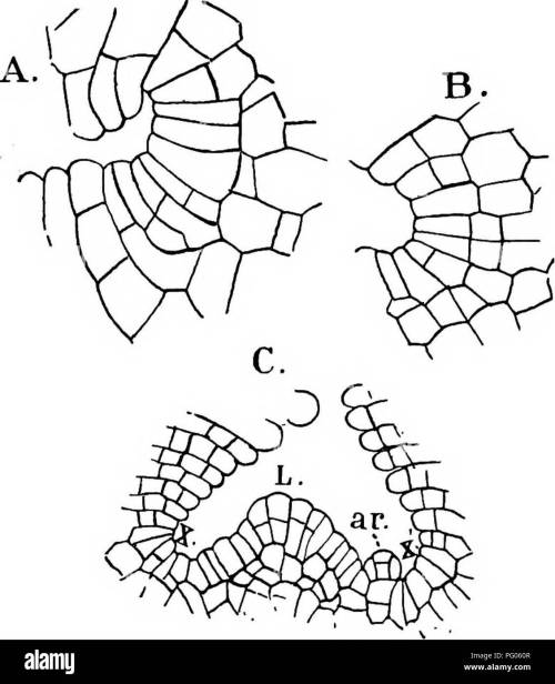 small resolution of  the structure and development of mosses and ferns archegoniatae plant morphology mosses ferns 26 mosses and ferns chap in riccia glauca as well as