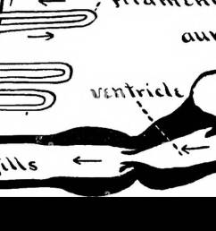 biology 3j i i c t vv c c a iij cw fig 100 diagram of the circulation of blood in the gill of a fish  [ 1300 x 610 Pixel ]