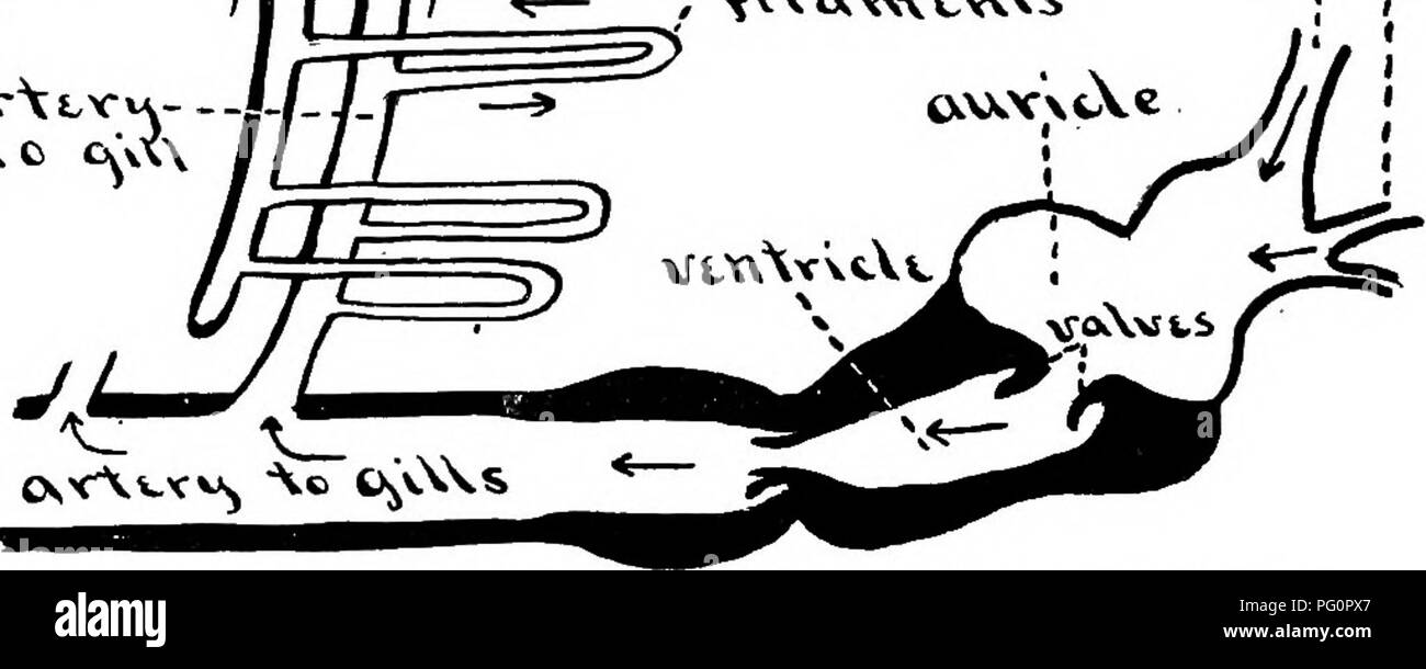 hight resolution of biology 3j i i c t vv c c a iij cw fig 100 diagram of the circulation of blood in the gill of a fish