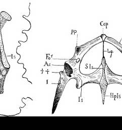 anatomy comparative pelvic arch 117 greater development of the ilium which is sometimes broadened out at its vertebral end and 3 the more intense  [ 1300 x 851 Pixel ]