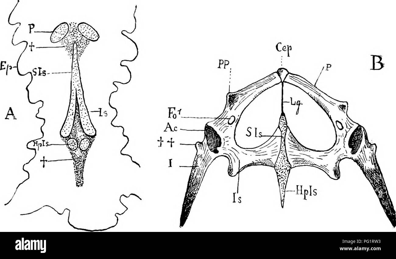 hight resolution of anatomy comparative pelvic arch 117 greater development of the ilium which is sometimes broadened out at its vertebral end and 3 the more intense