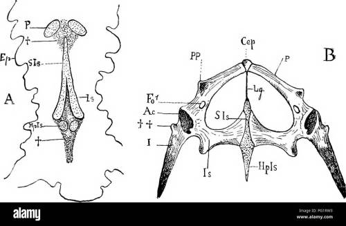 small resolution of anatomy comparative pelvic arch 117 greater development of the ilium which is sometimes broadened out at its vertebral end and 3 the more intense
