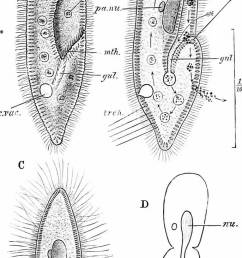 a manual of zoology fig 18 paramoecium caudatum a the living animal from ihe ventral aspect b the same in optical section the arrow shows the  [ 686 x 1390 Pixel ]