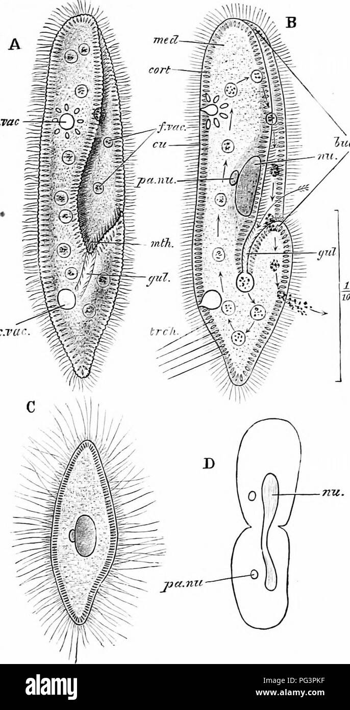hight resolution of  a manual of zoology fig 18 paramoecium caudatum a the living animal from ihe ventral aspect b the same in optical section the arrow shows the