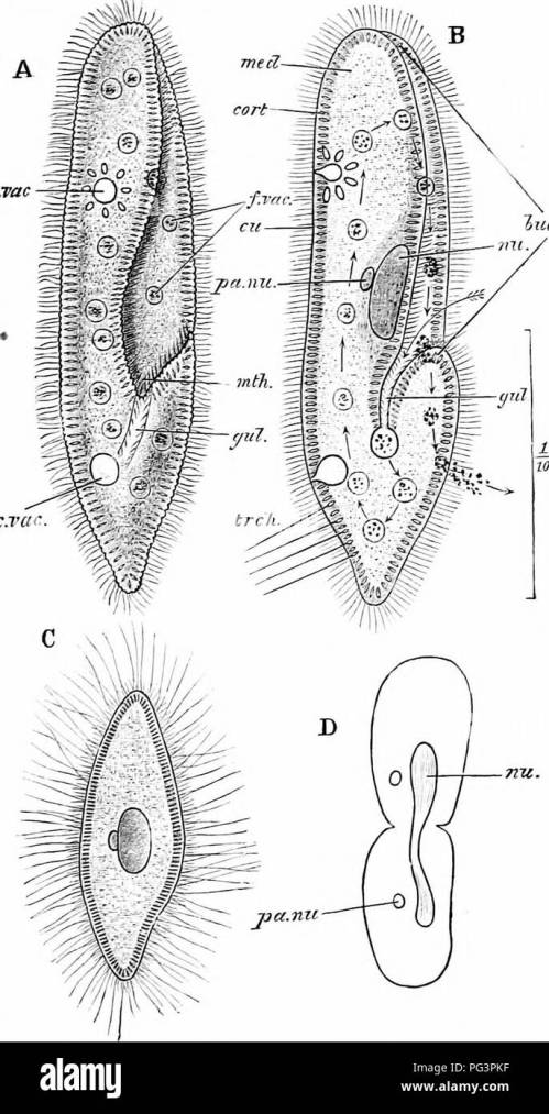 small resolution of  a manual of zoology fig 18 paramoecium caudatum a the living animal from ihe ventral aspect b the same in optical section the arrow shows the