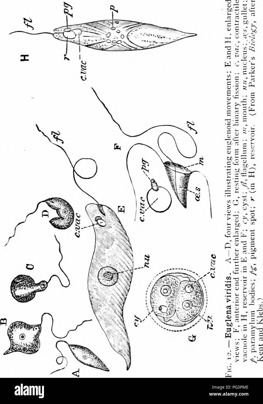 hight resolution of phylum protozoa 35 the body of euglena