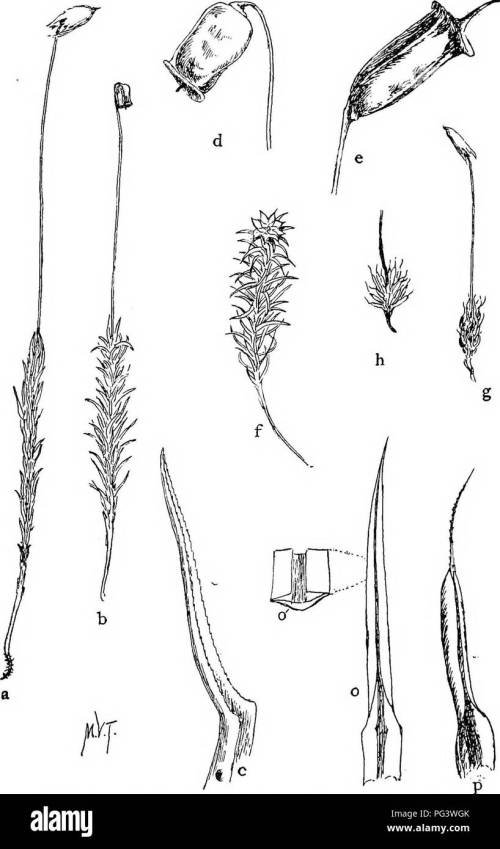 small resolution of mosses with a hand lens a non technical handbook of the more