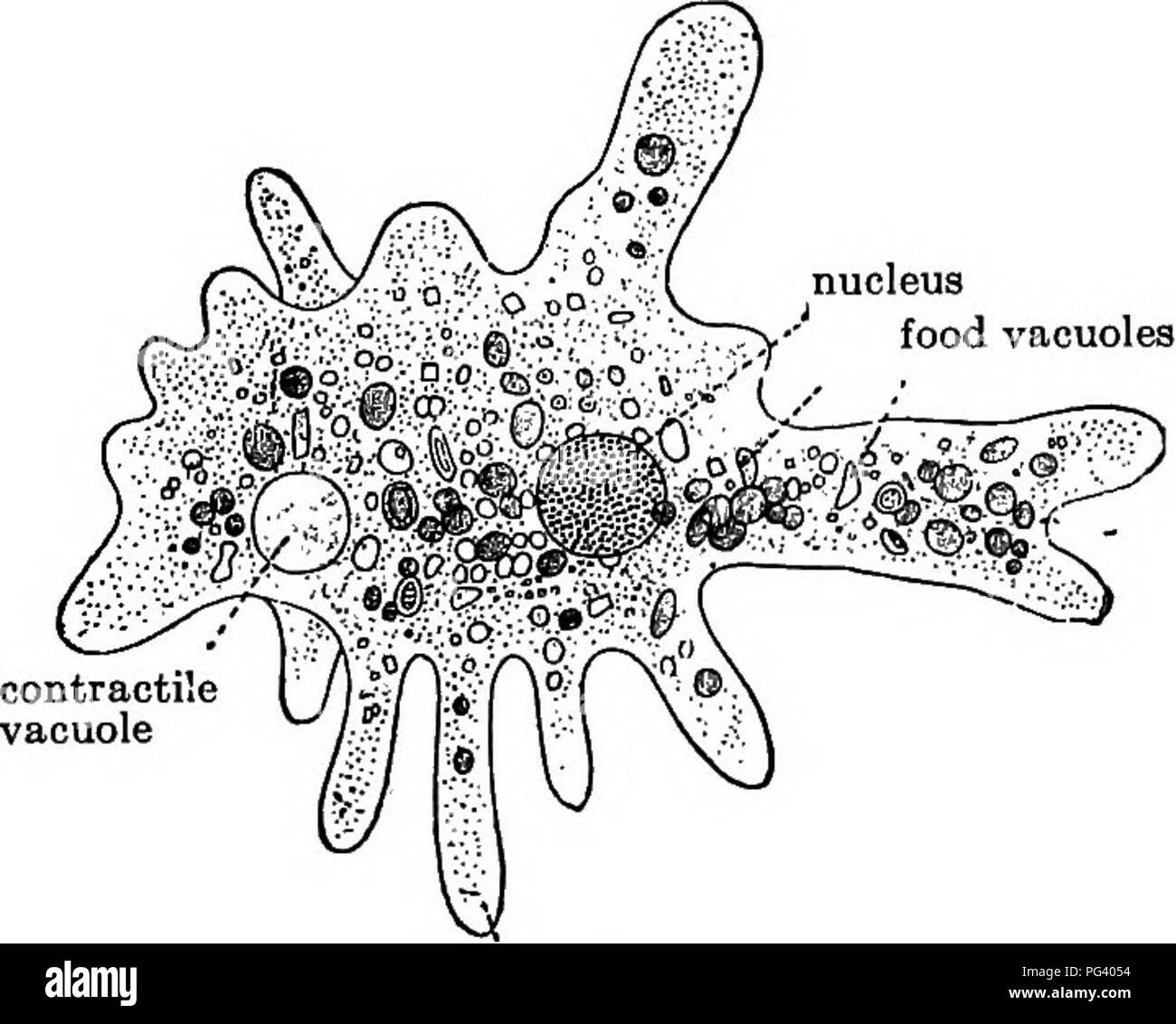 hight resolution of elementary biology animal and human biology paramecium and its belatives 171 c