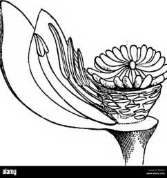 elements of botany botany botany i ii m fig 133  [ 1300 x 1319 Pixel ]