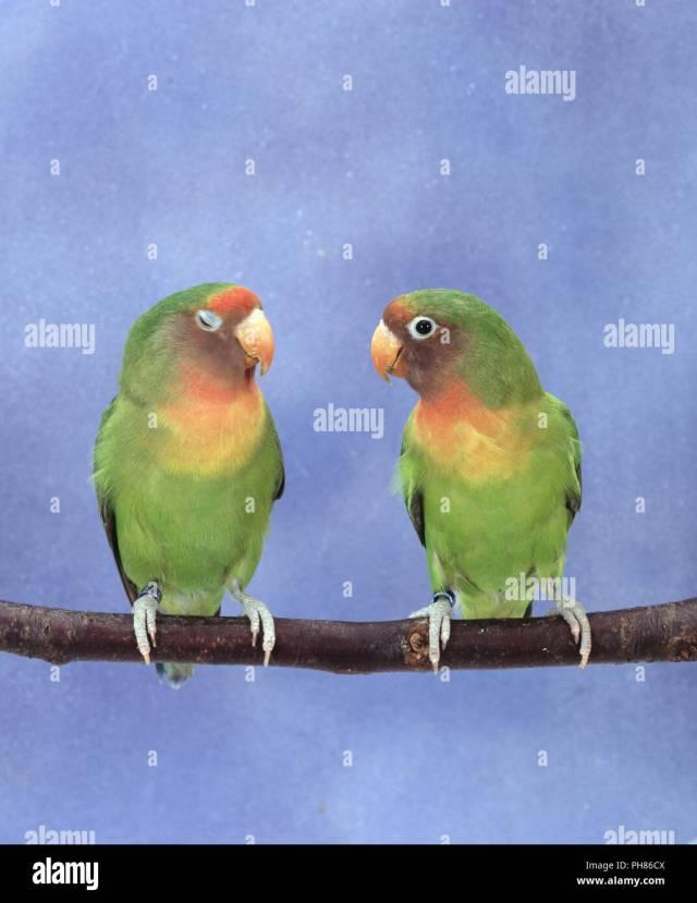 Agaponiden Unzertrennliche Agapornis Lovebirds Inseparable