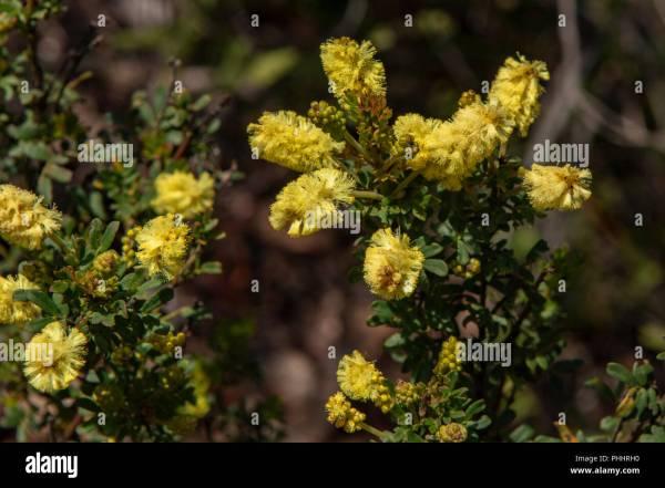 Acacia Drummondii Tree - Year of Clean Water