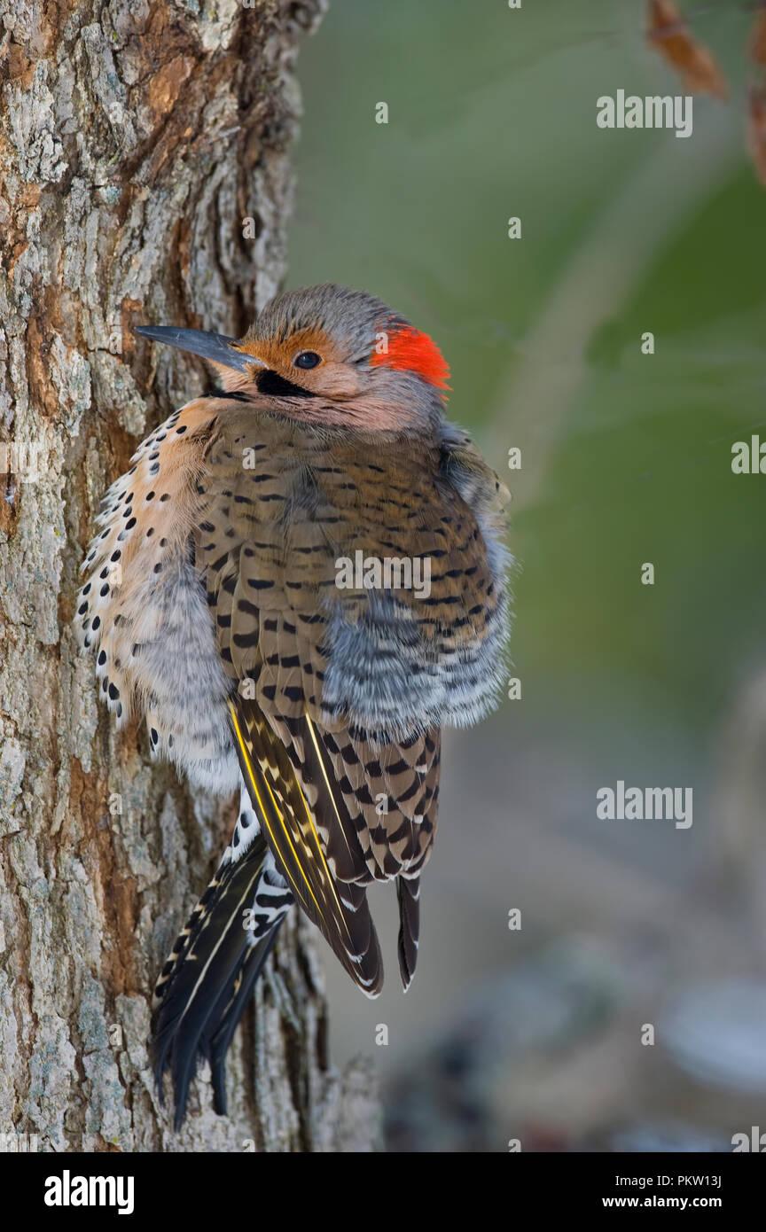 medium resolution of northern flicker colaptes auratus stock image