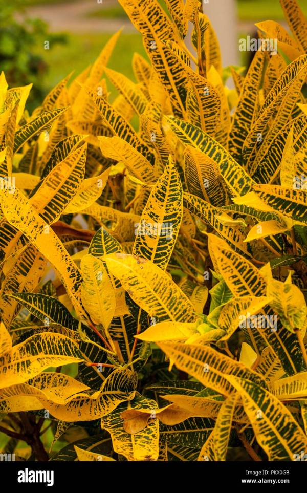 Garden Croton Plant Stock &