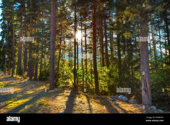 green summer pine trees forest background and sun between trunks Stock Photo Alamy