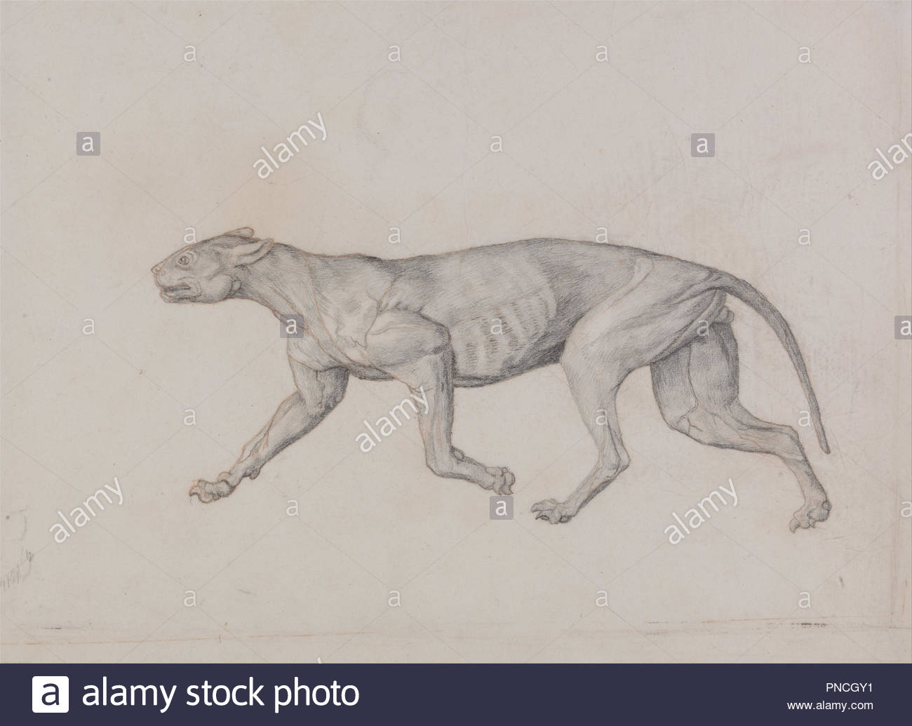 hight resolution of a comparative anatomical exposition of the structure of the human body with that of a tiger and a common fowl leopard body lateral view