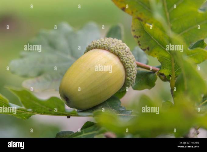 Autumn Acorns On Oak Tree Contrary To Belief Acorns May Be Used As Human Food Once The Excess Tannin Has Been Removed To Make Them Safe To Eat Stock Photo Alamy