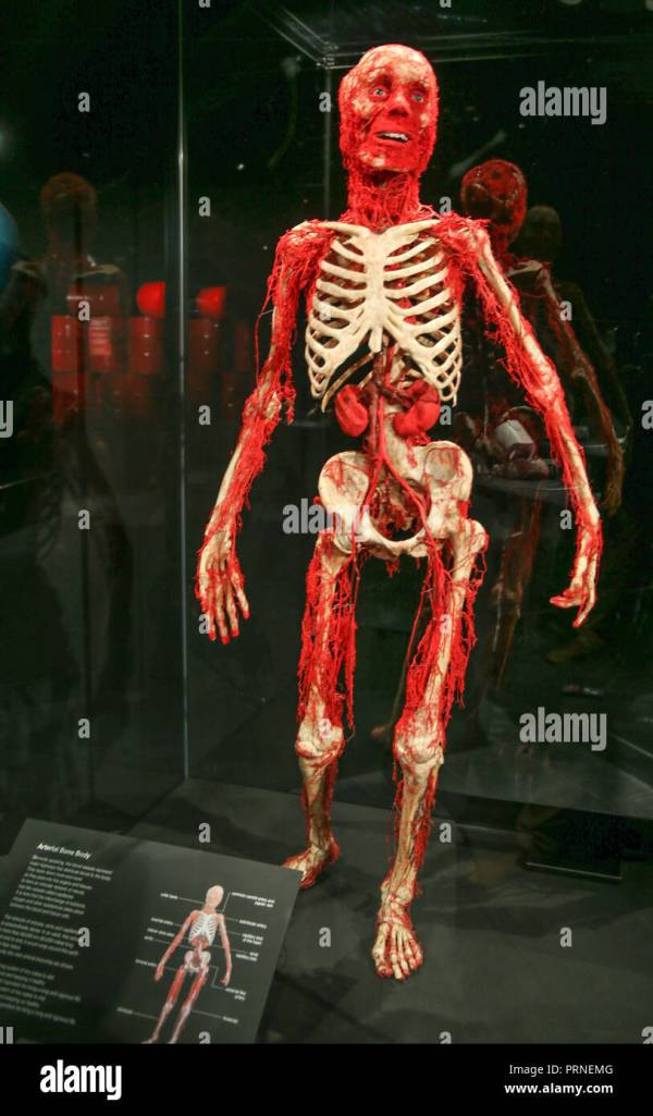 Gunther Von Hagen Body Worlds Stock &