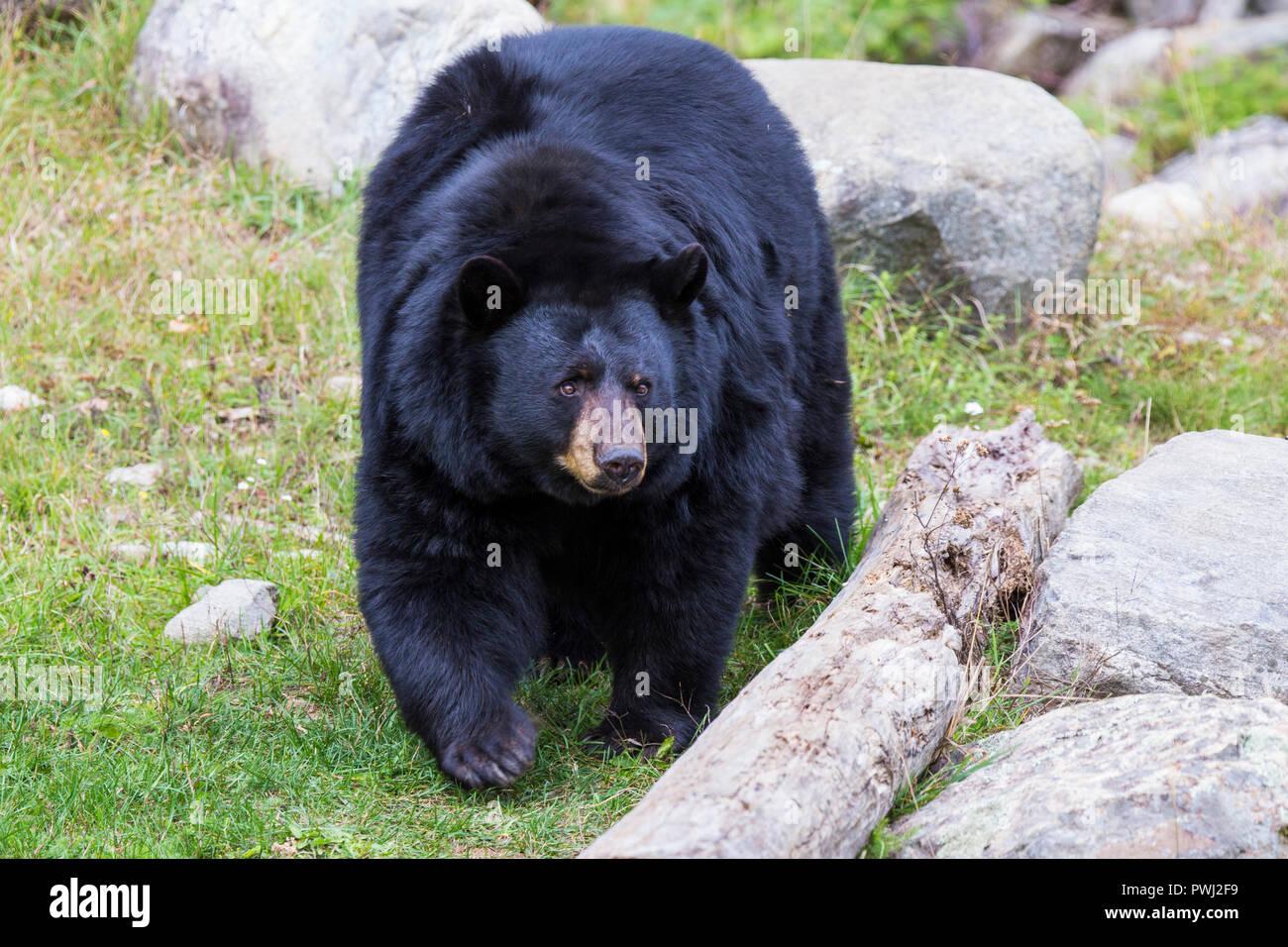 huge male black bear
