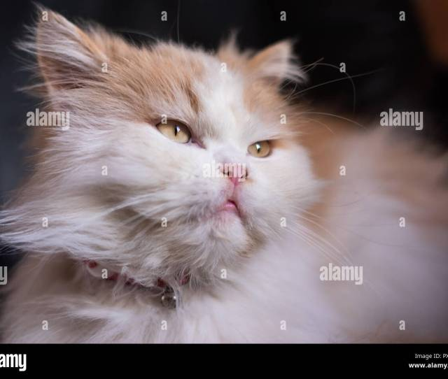 Cute Semi Persian White And Ginger Colour Fluffy Cat With Bell Collar Looking Away At A Window With Blurred Black Background Natural Light Reflecting