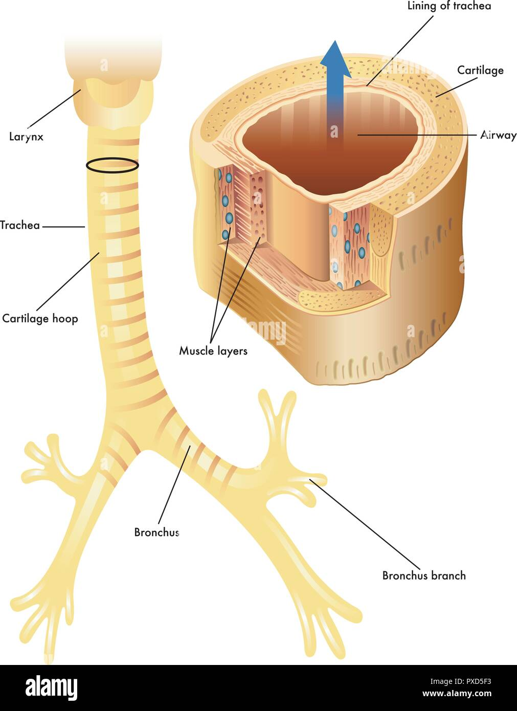 hight resolution of vector medical illustration of the anatomy of the trachea stock image