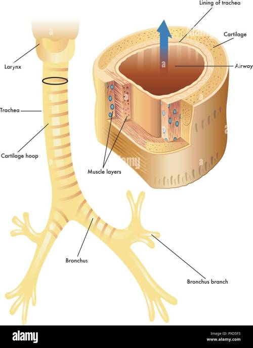 small resolution of vector medical illustration of the anatomy of the trachea stock image