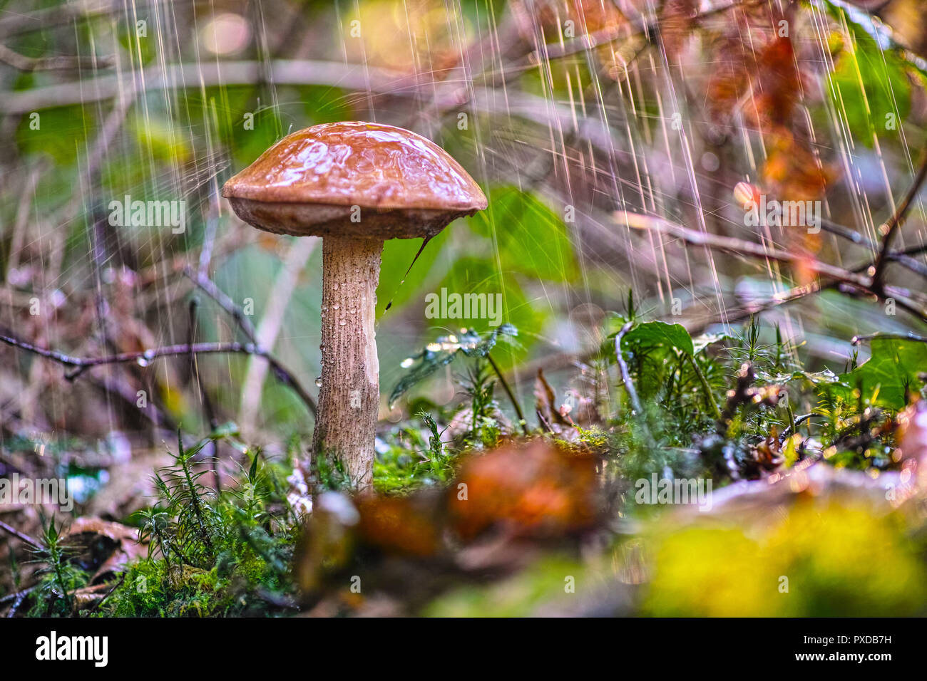 Boletus Mushroom In The Forest During The Rain Stock Photo