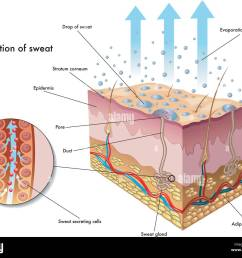 medical illustration of the formation of sweat stock image [ 1300 x 1091 Pixel ]