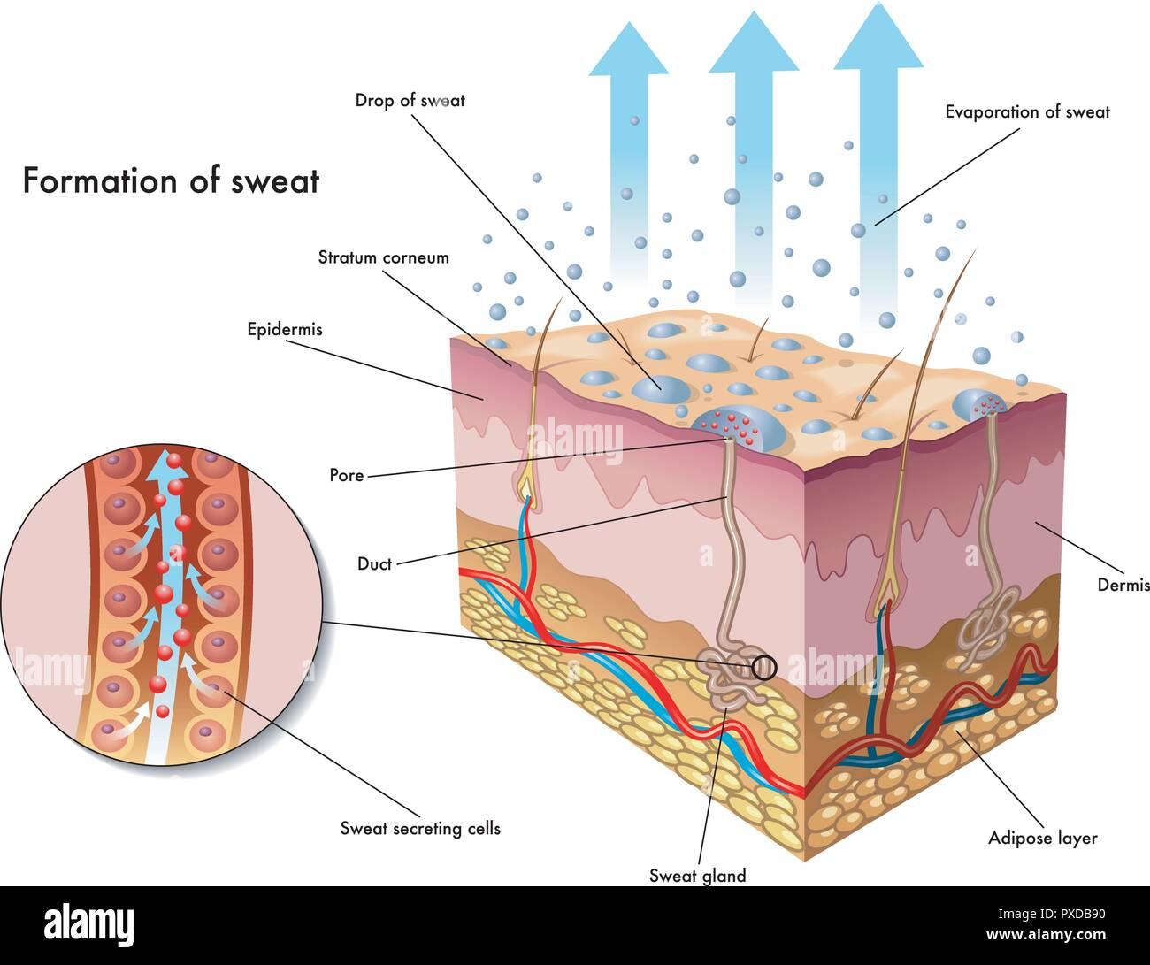 hight resolution of medical illustration of the formation of sweat stock image