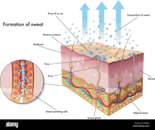 small resolution of medical illustration of the formation of sweat stock image
